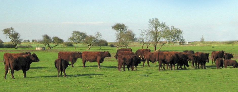 Lincoln Red cattle - Credit: Dave Lavash